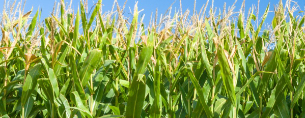 corn plants and blue sky